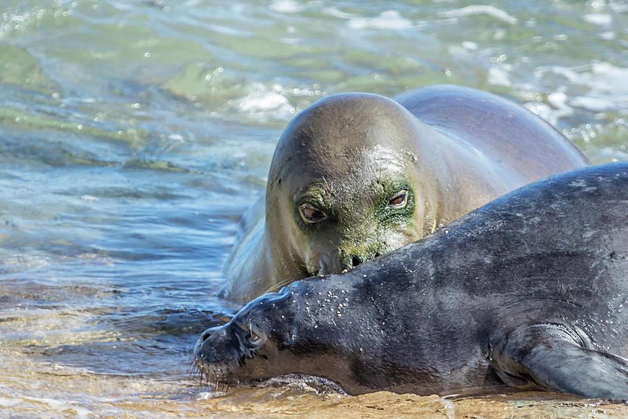 Mama Monk Seal and Pup at the Shoreline, No. 3 - RB00 and PK1 by Belinda Greb
