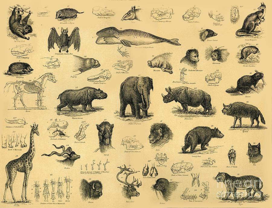 Mammals Drawing by Print Collector