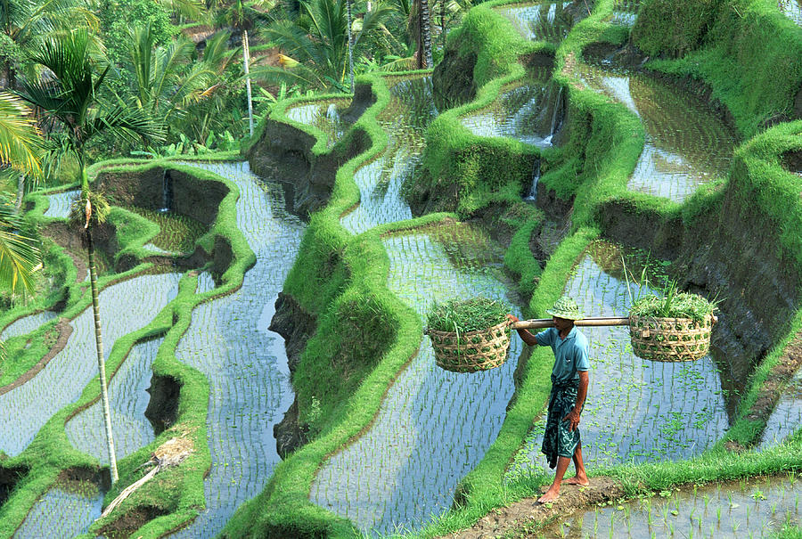 Man In Rice Paddies, Bali, Indonesia Photograph by Peter Adams
