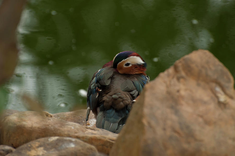 mandarin duck 003 by Chris Flees