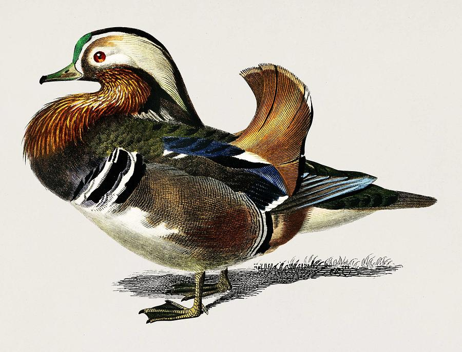 Duck Painting - Mandarin Duck  Aix Galericulata Illustrated By Charles Dessalines D Orbigny  1806-1876 1 by Celestial Images