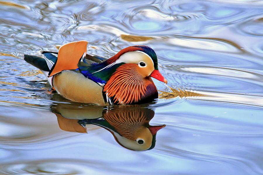Mandarin Duck In Central Park Photograph