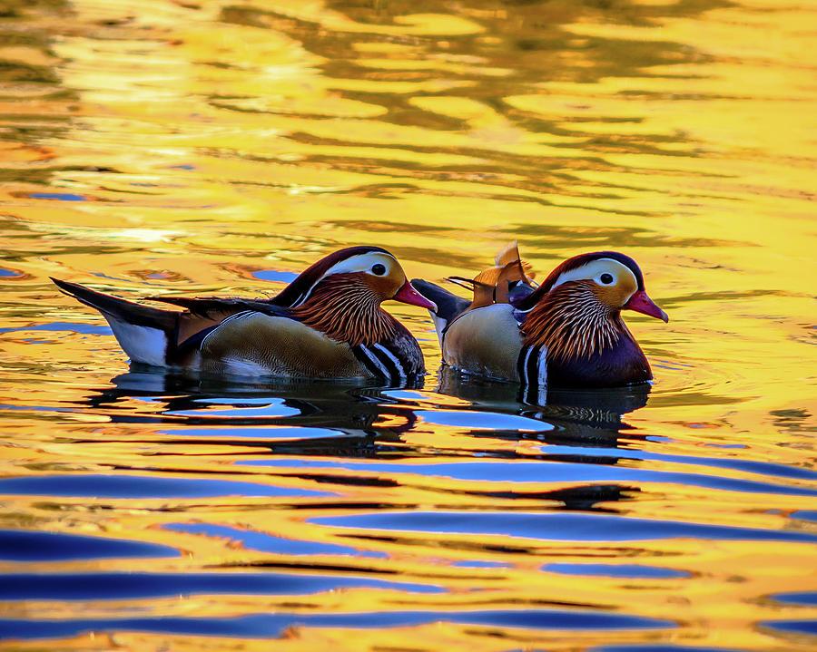 Mandarin Photograph - Mandarin Ducks by Borja Robles
