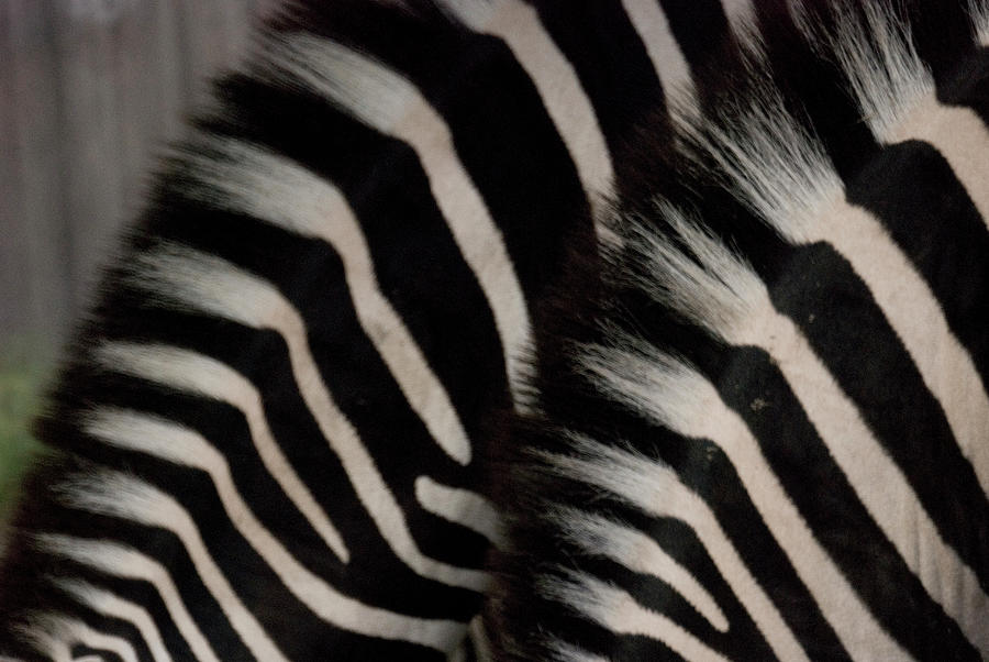 Manes Of Two Zebras, Close-up Photograph by Win-initiative/neleman