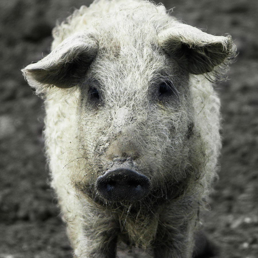 Mangalica Pig Portrait Photograph by Halfoto.hu