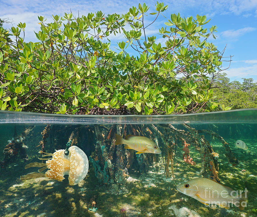 Habitat Photograph - Mangrove Above And Below Water Surface by Damsea