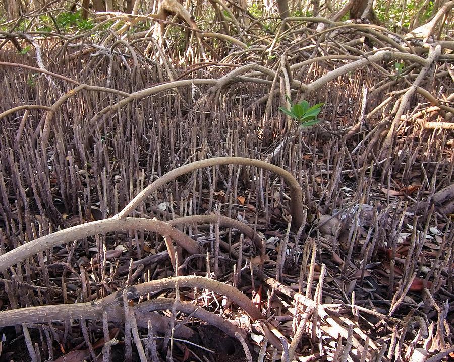 Mangrove Understory by Paul Rebmann