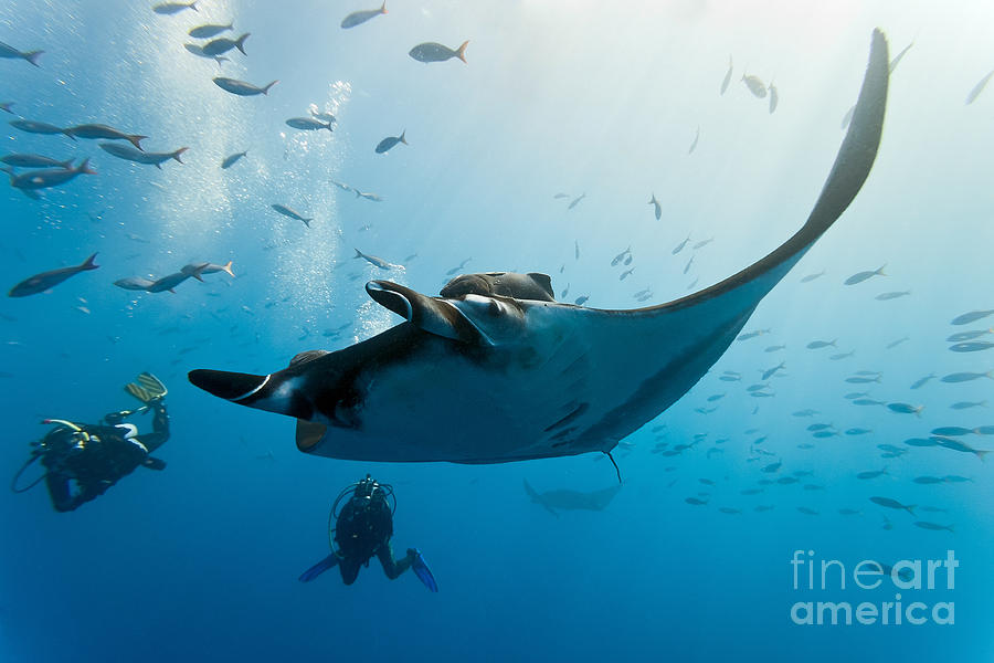 Nature Photograph - Manta And Diver On The Blue Background by Krzysztof Odziomek