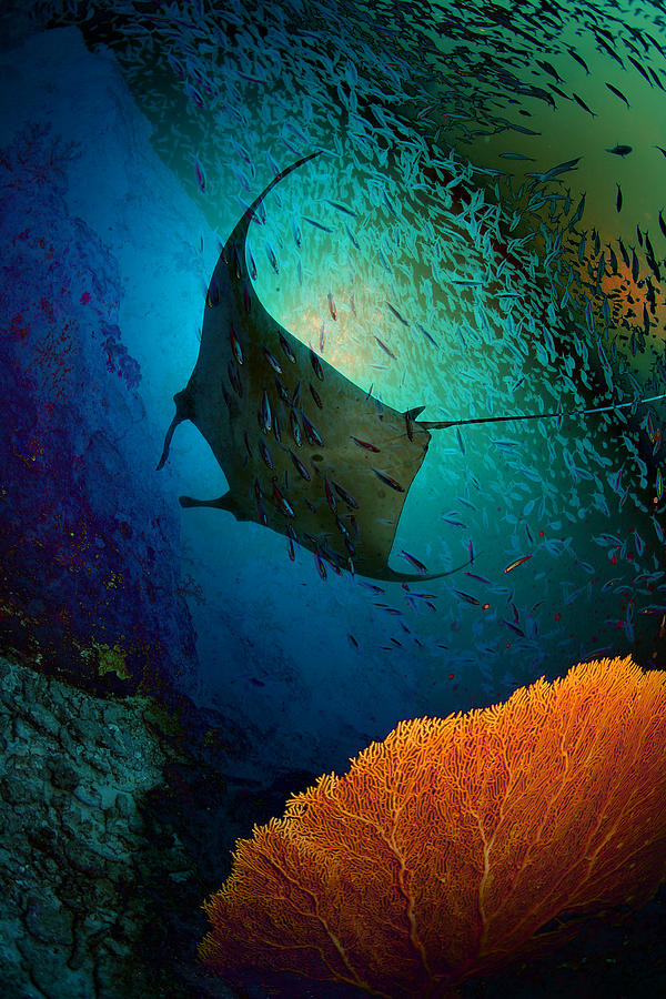 Manta Dreams Photograph by Nature, Underwater And Art Photos. Www.narchuk.com