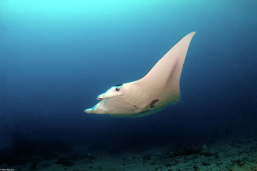 Manta Flight Over Reef Photograph