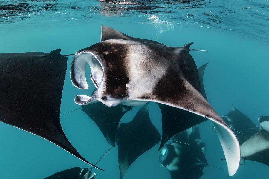 Manta Rays Filter Feeding, Hanifaru Photograph by Tui De Roy