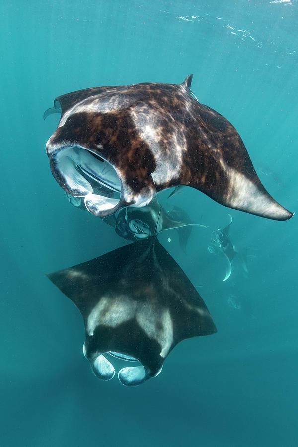 Manta Rays Filter Feeding On Raa Atoll Photograph by Tui De Roy
