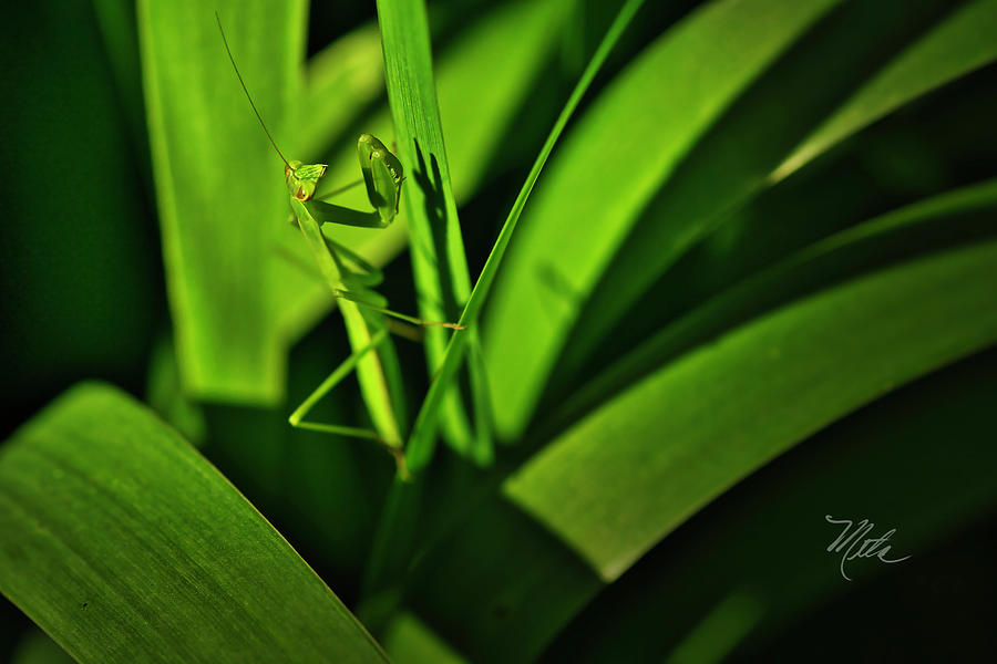 Mantis by Meta Gatschenberger