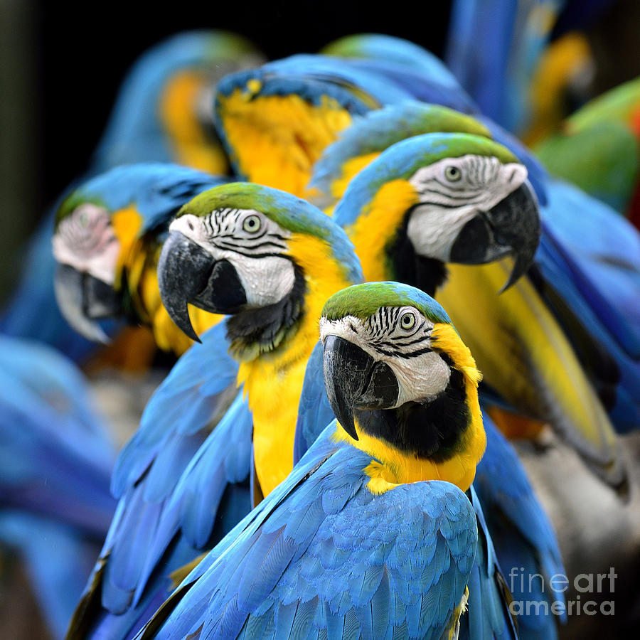 Feather Photograph - Many Of Blue And Gold Macaw Perching by Super Prin