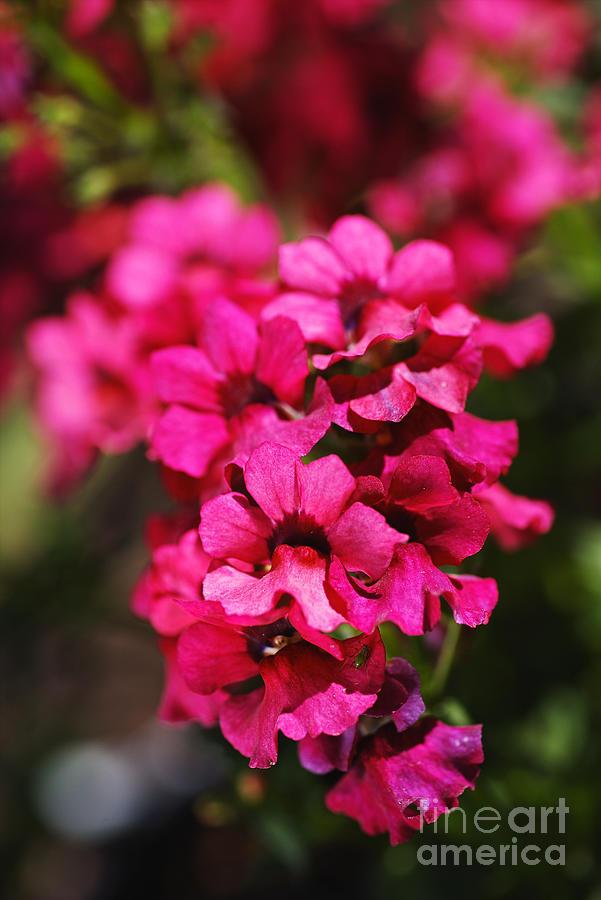 Many Small Pink Flowers by Joy Watson