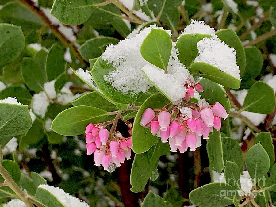 Manzanita Snow by Sean Griffin