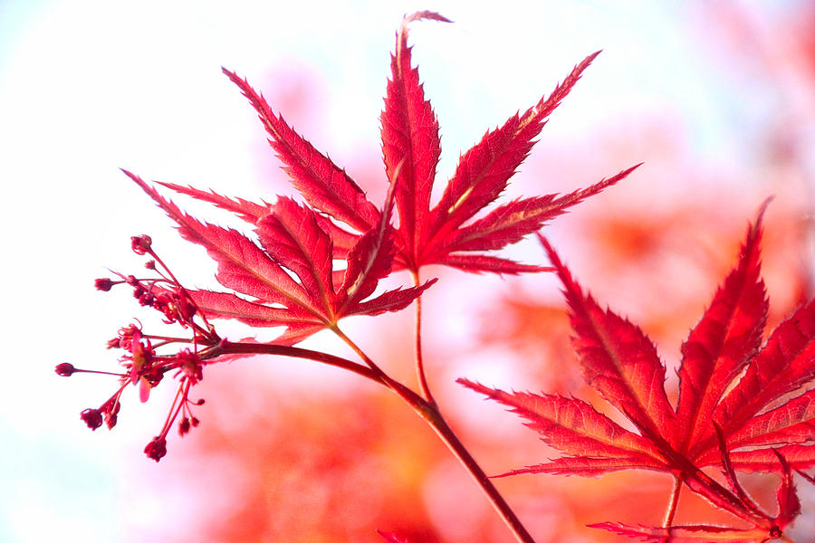 Maple Glow by Linda James