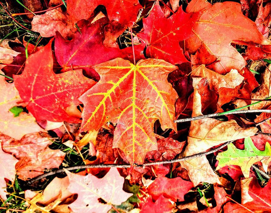 Maple Leaf  by Paul Kercher