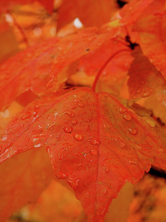 Maple Leaf Snow Melt by James Peterson