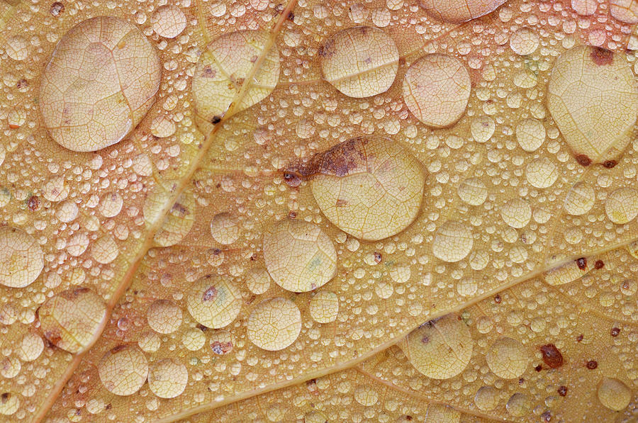 Maple Leaf With Water Drops From Rain Photograph by Martin Ruegner