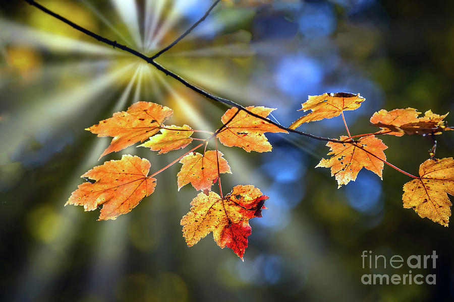 Maple leaves in Autumn on a tree branch illuminated by a sunburs by Patrick Wolf