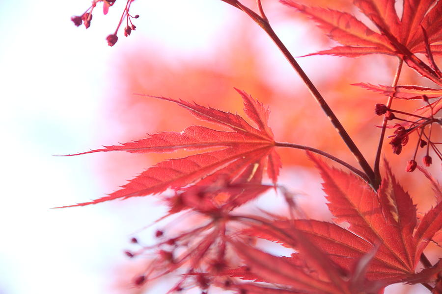 Maple Leaves by Linda James