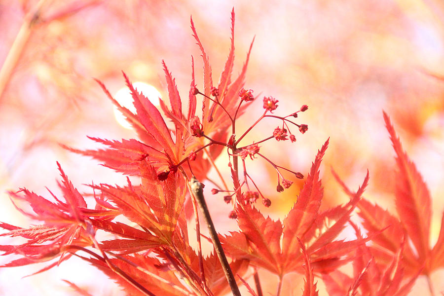 Maple Sunshine by Linda James