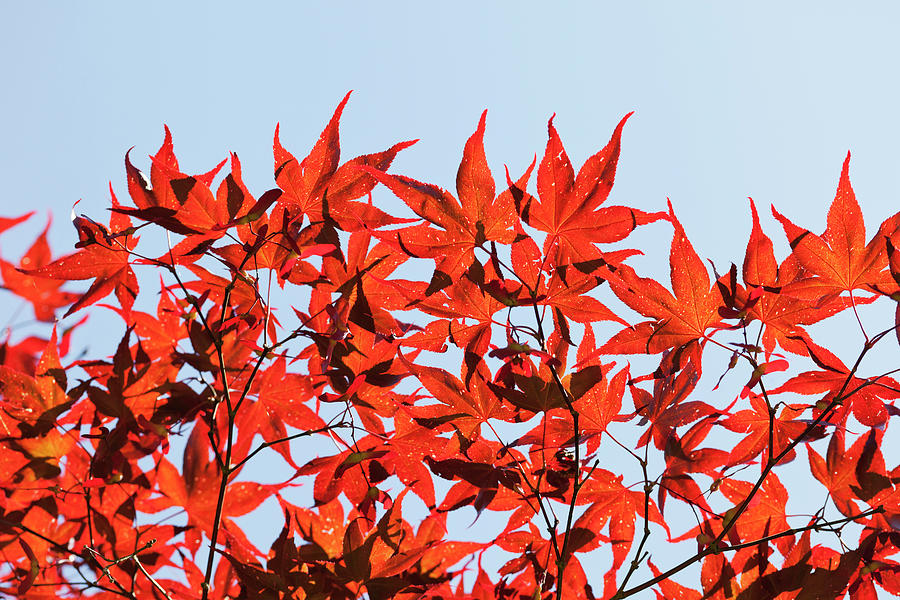 Maple Tree Foliage Photograph by Andrew Dernie