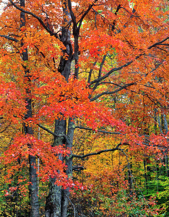 Maple Tree In Belknap Mountains, New Photograph by Danita Delimont
