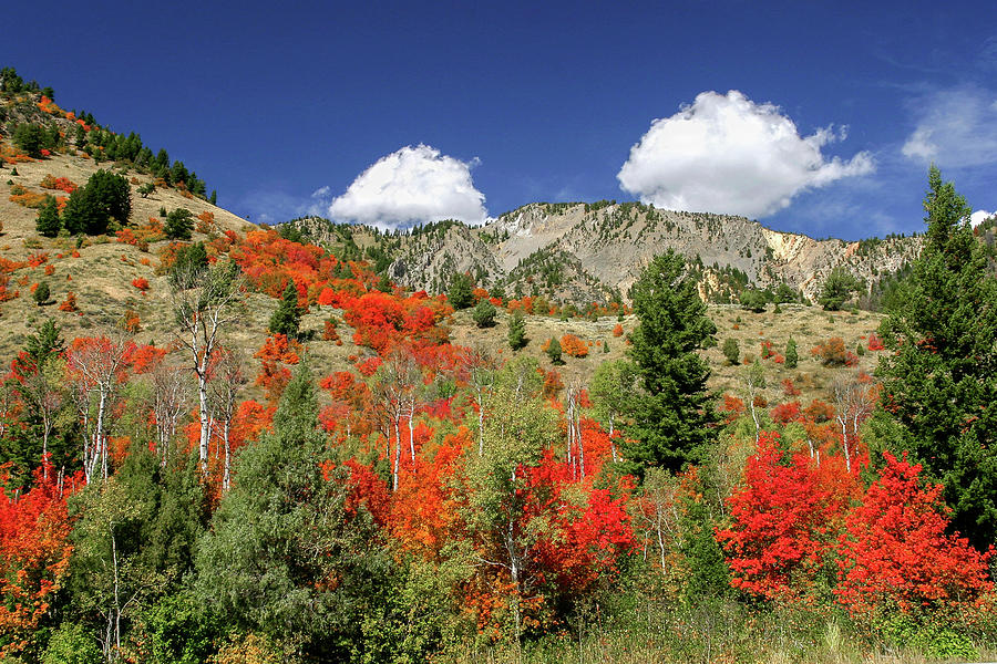 Maples in Bloom by Ronnie and Frances Howard
