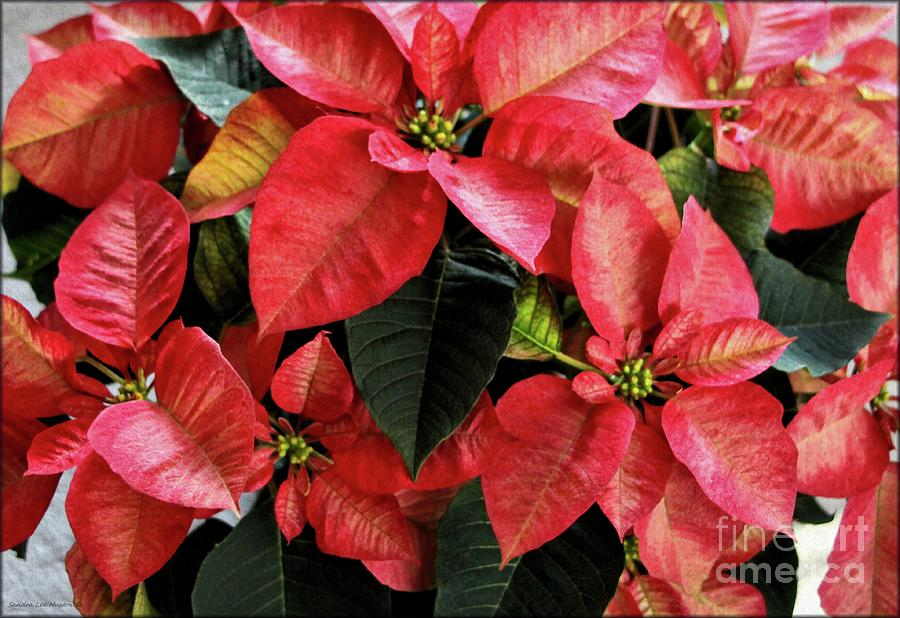 Marbled Colored Poinsettias By Sandra Huston