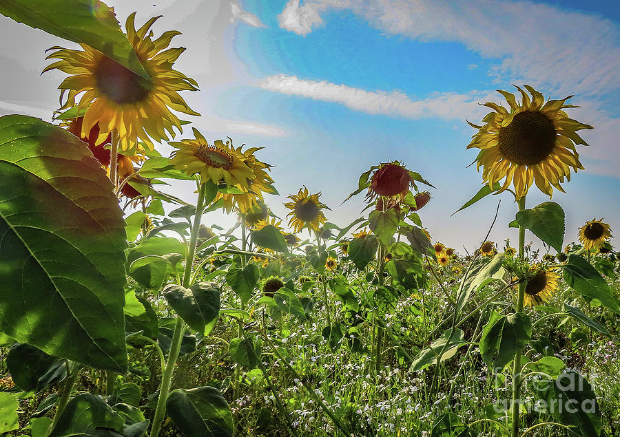 March of the Sunflowers by Mandi Hibberd