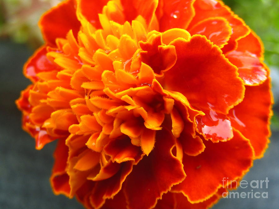 Marigold II by Robert Knight