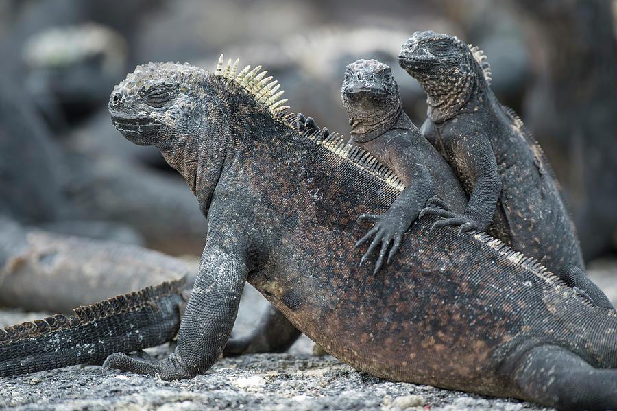 Marine Iguana And Juveniles Basking Photograph by Tui De Roy
