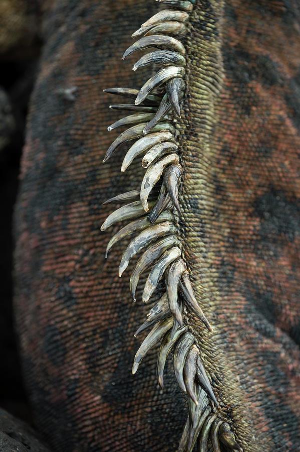 Marine Iguana Dorsal Spines Detail Photograph by Tui De Roy