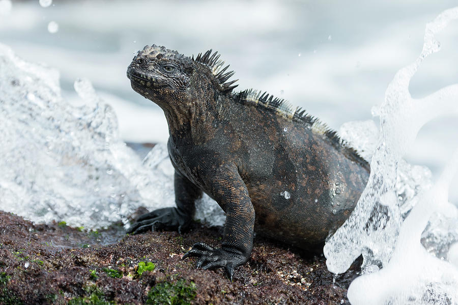 Marine Iguana In Surf Zone Photograph by Tui De Roy