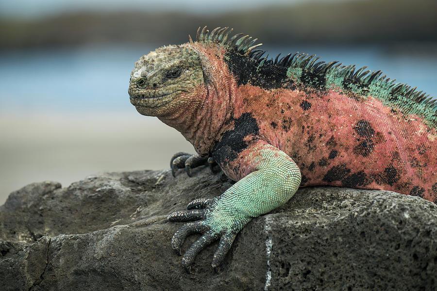 Marine Iguana Male In Breeding Color Photograph by Tui De Roy