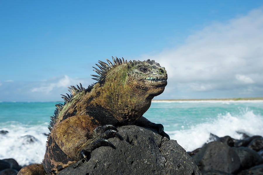 Marine Iguana On Coastal Lava Rocks Photograph by Tui De Roy
