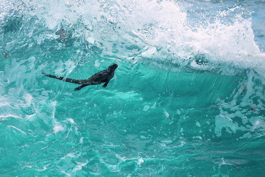 Marine Iguana Surfing Wave Photograph by Tui De Roy