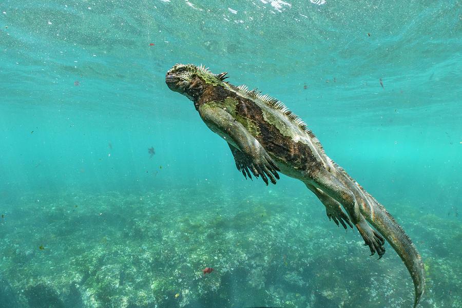 Marine Iguana Swimming Photograph by Tui De Roy