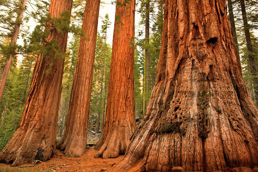 Mariposa Grove Trees Photograph by Pgiam