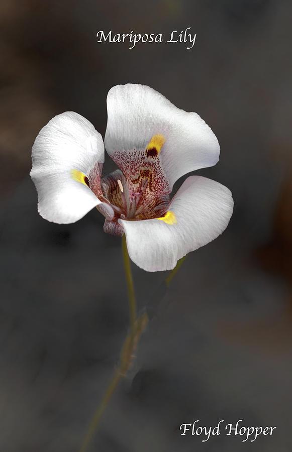 Mariposa Lily by Floyd Hopper