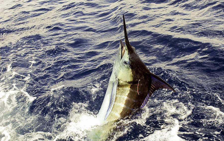 Marlin with tag by David Shuler