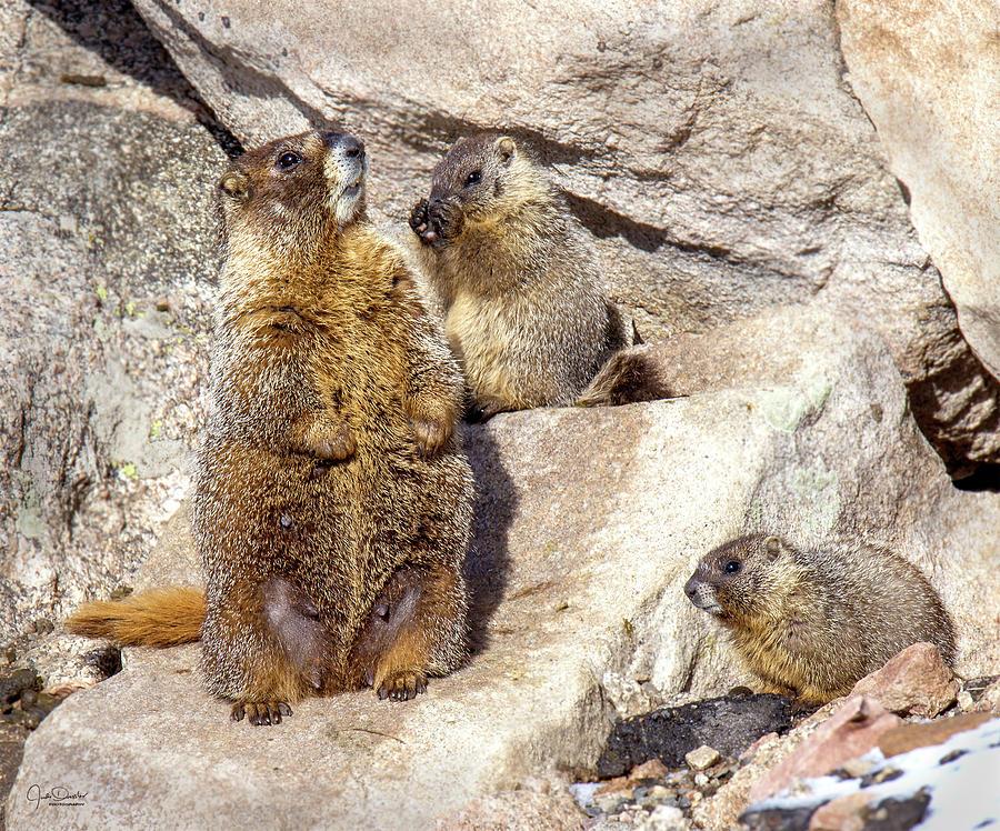Marmot Family Outing by Judi Dressler