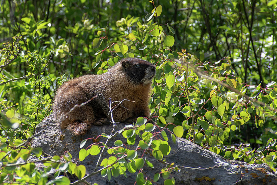 Marmot on a rock by Dan Friend