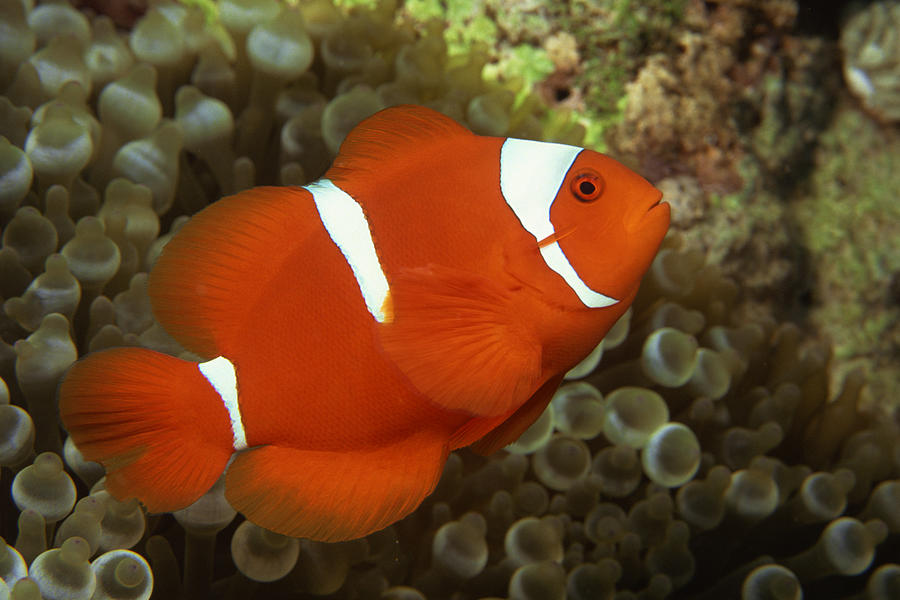 Maroon Clownfish With Sea Anemone Photograph by Comstock