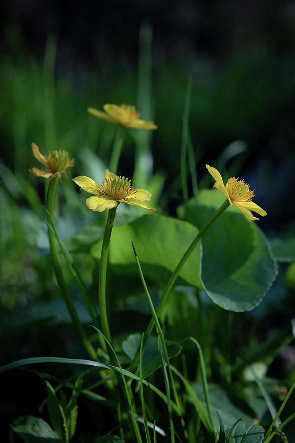 Marsh Marigold by Steven David Roberts