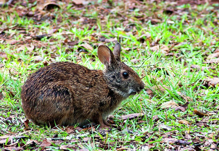 Marsh Rabbit Photograph - Marsh Rabbit by Norman Johnson
