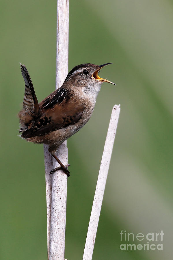 Marsh Wren April 2 by Sue Harper