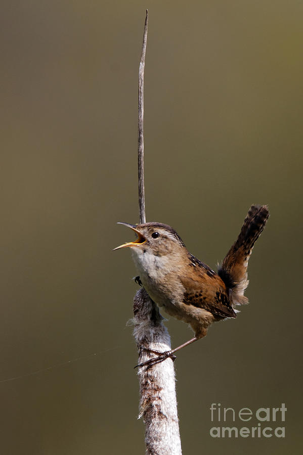 Marsh Wren April 3 by Sue Harper